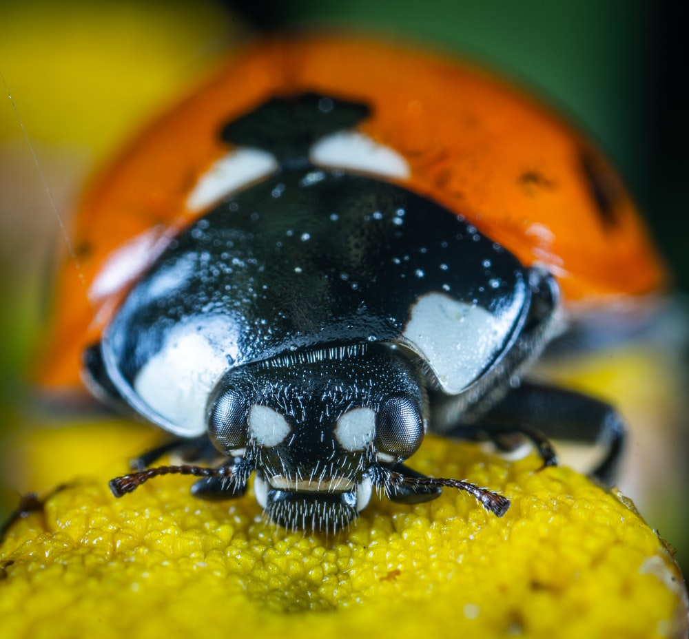 macro photography of lady bug
