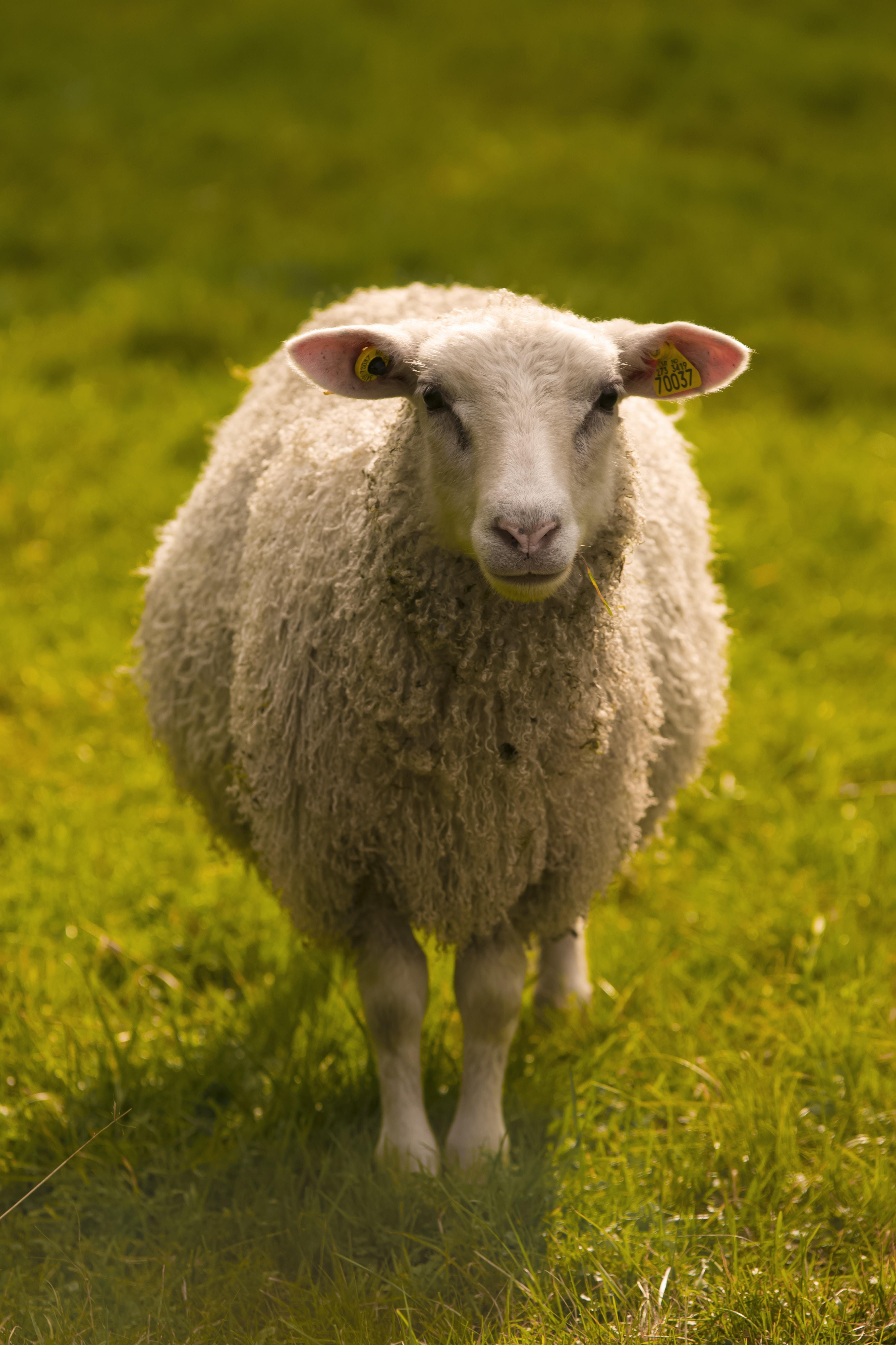 sheep on green grasses