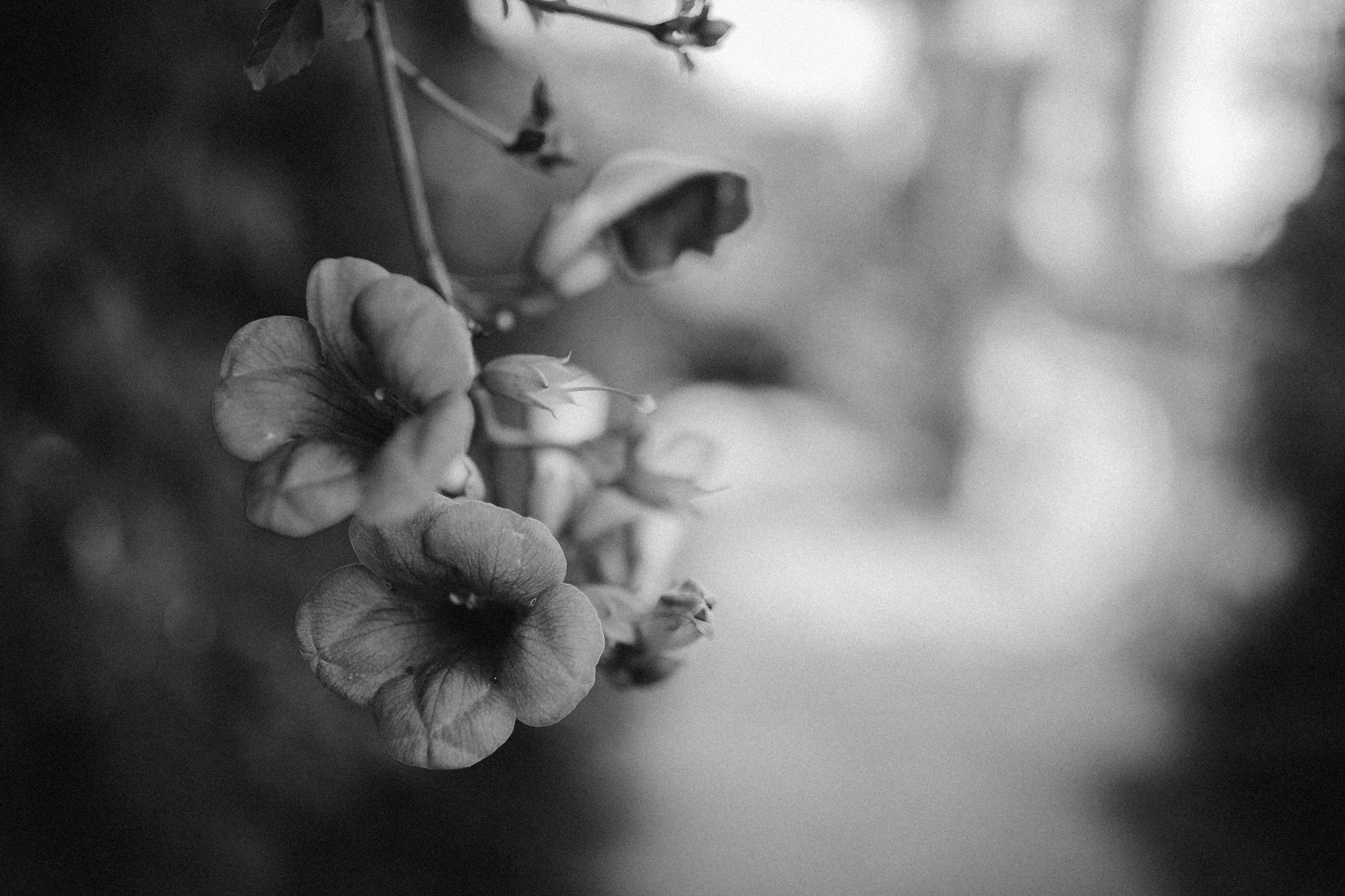 gray scale photography of flower