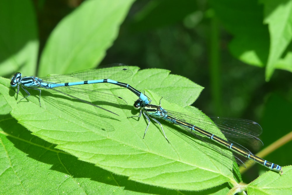 two dragonflies on green leaf