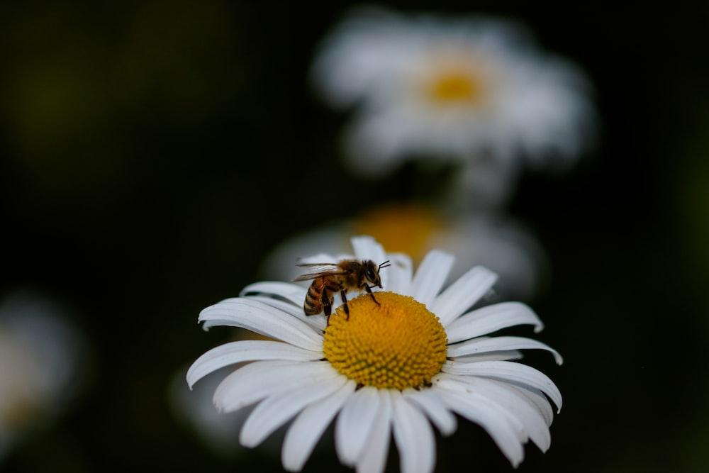 bee on daisy flower