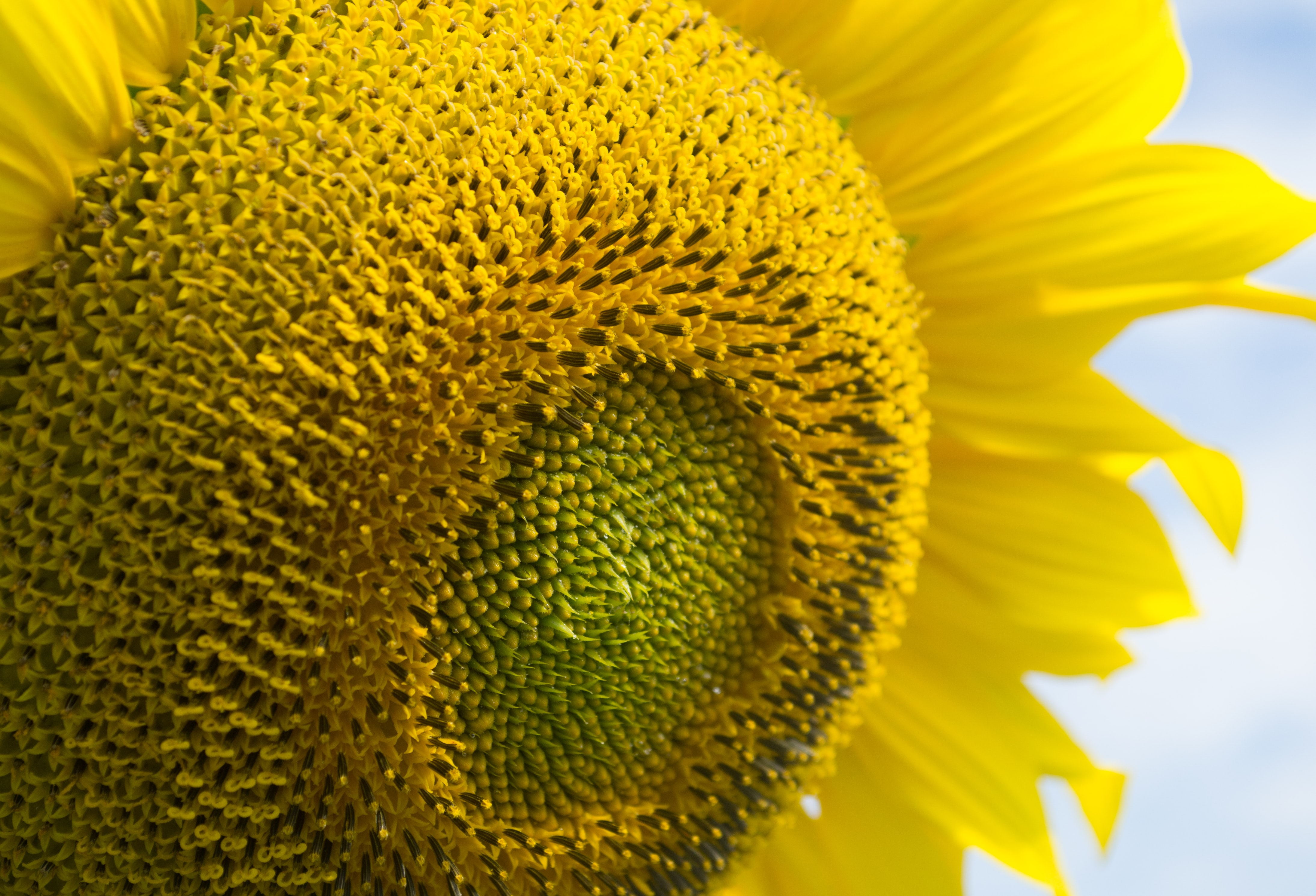 selective focus of yellow sunflower