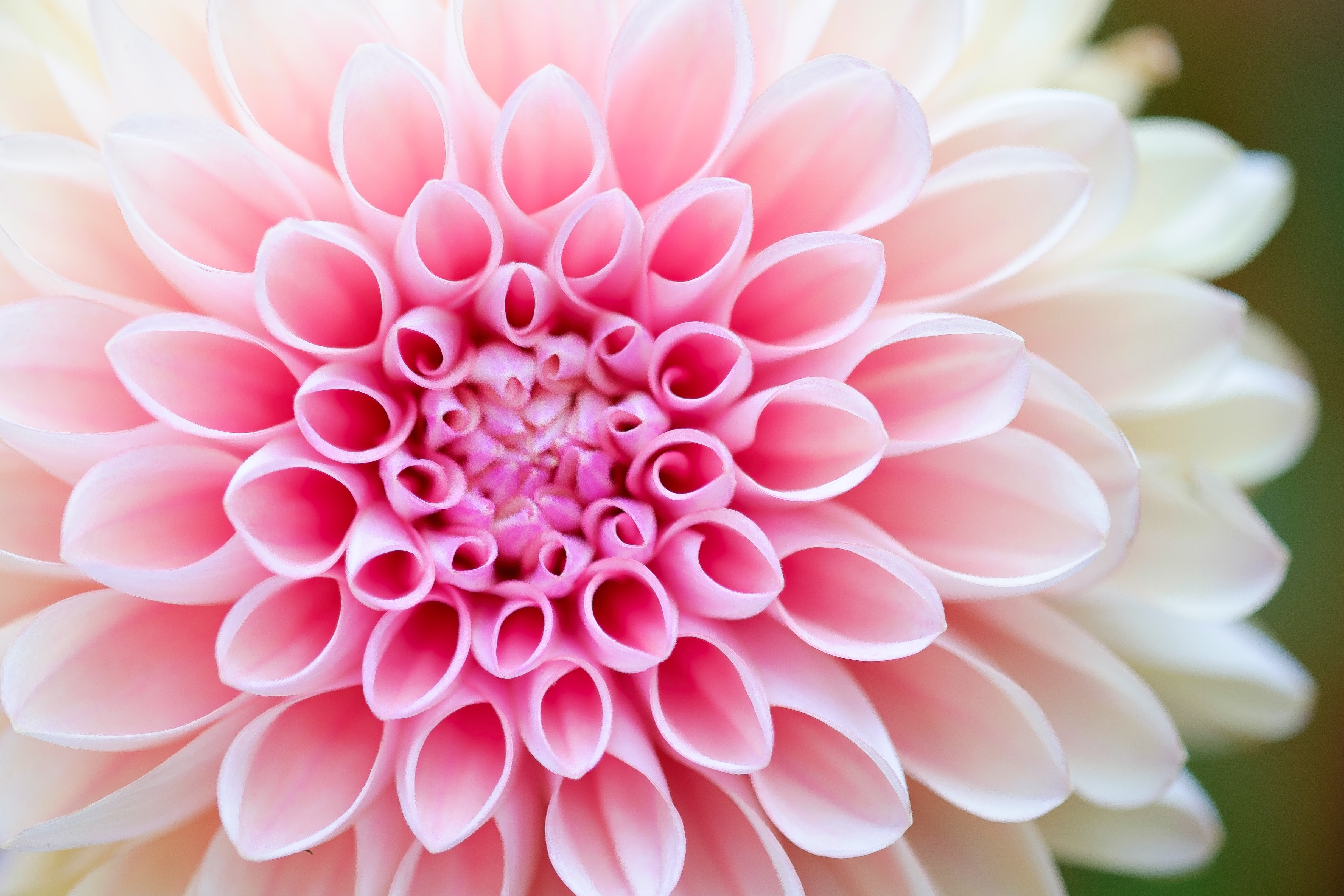 close-up photography of pink petaled flower