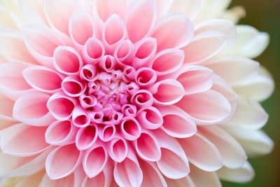 close-up photography of pink petaled flower blossom teams background