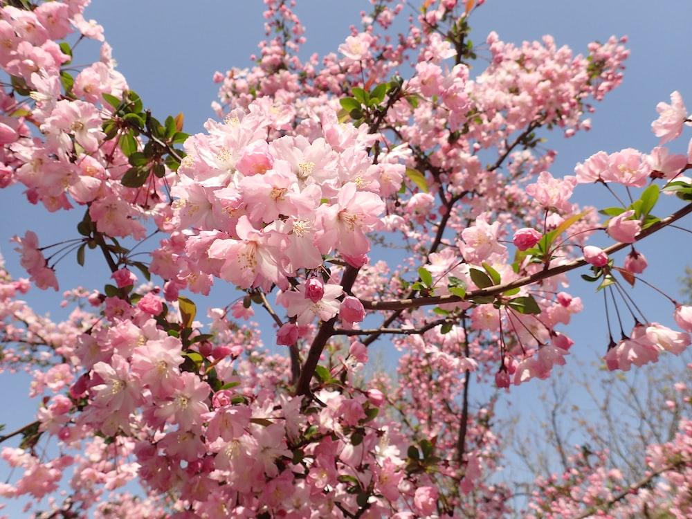 pink flower tree during daytime