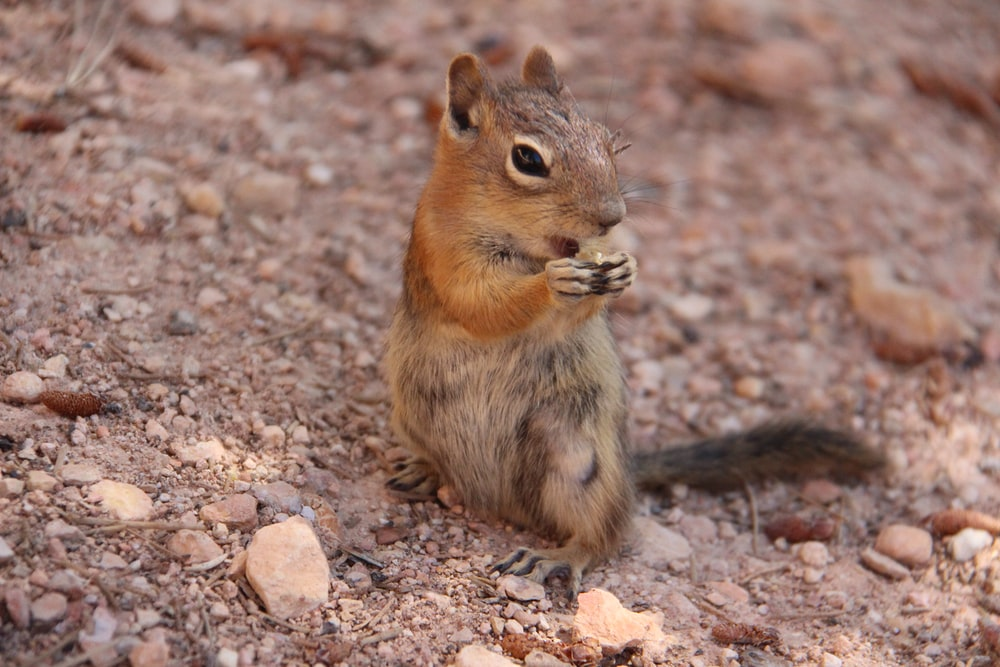 brown squirrel standing on gravel