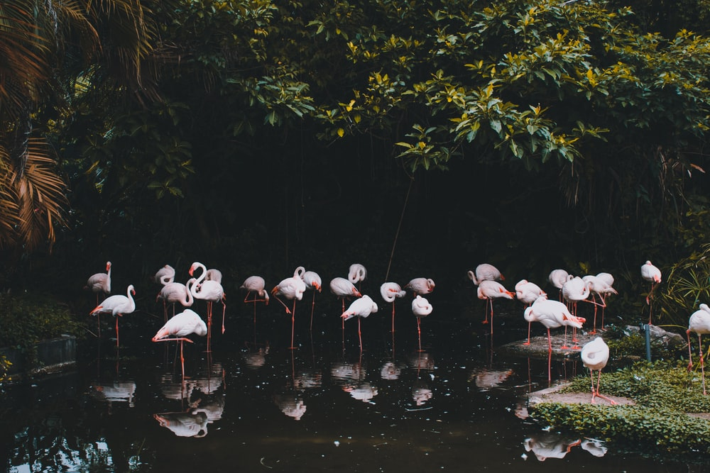 flamingos on pond