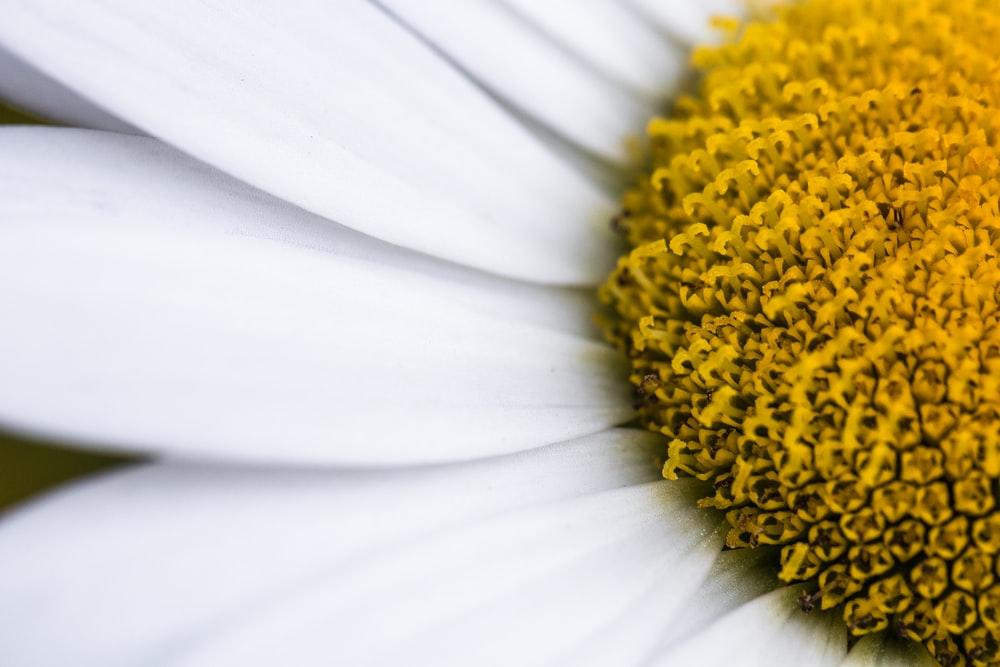 macro photography of white daisy flower