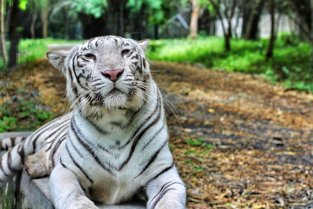 Tiger Pictures | Downl...