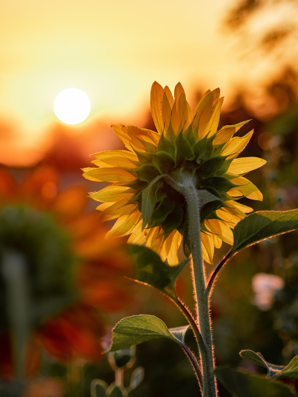 close-up photography of yellow sunflower