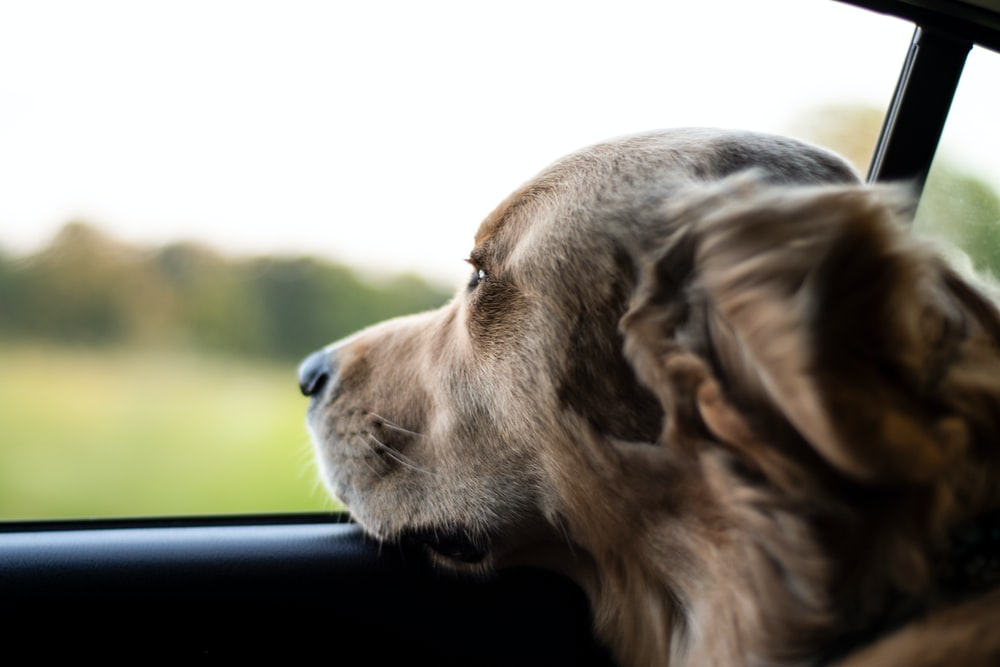 long-coated brown dog looking outside of vehicle