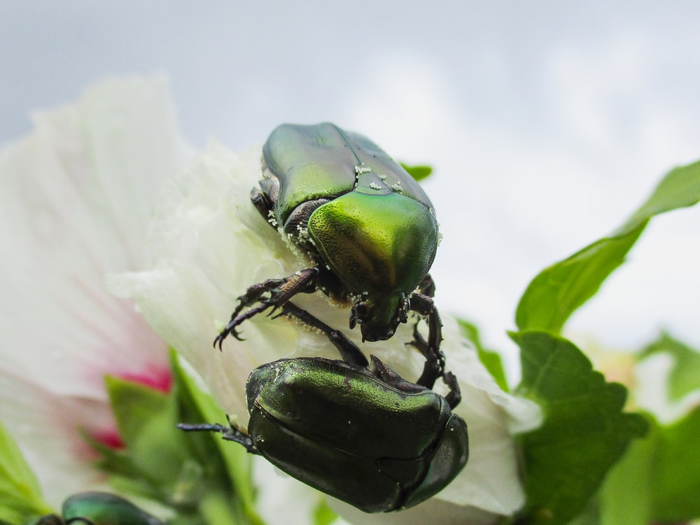 two green beetle on white flower
