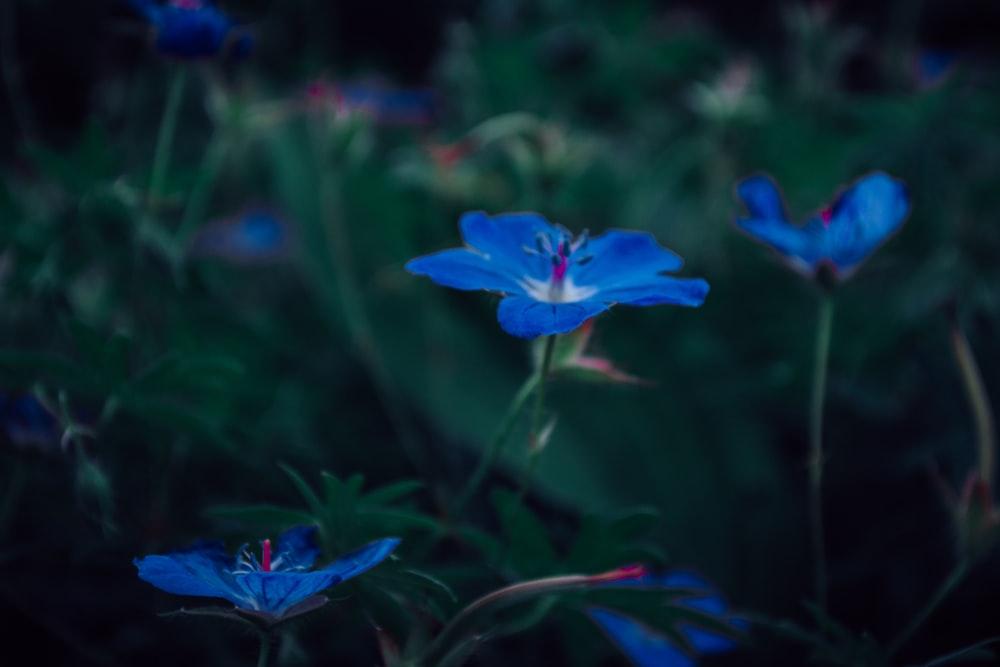 blue flower in bloom