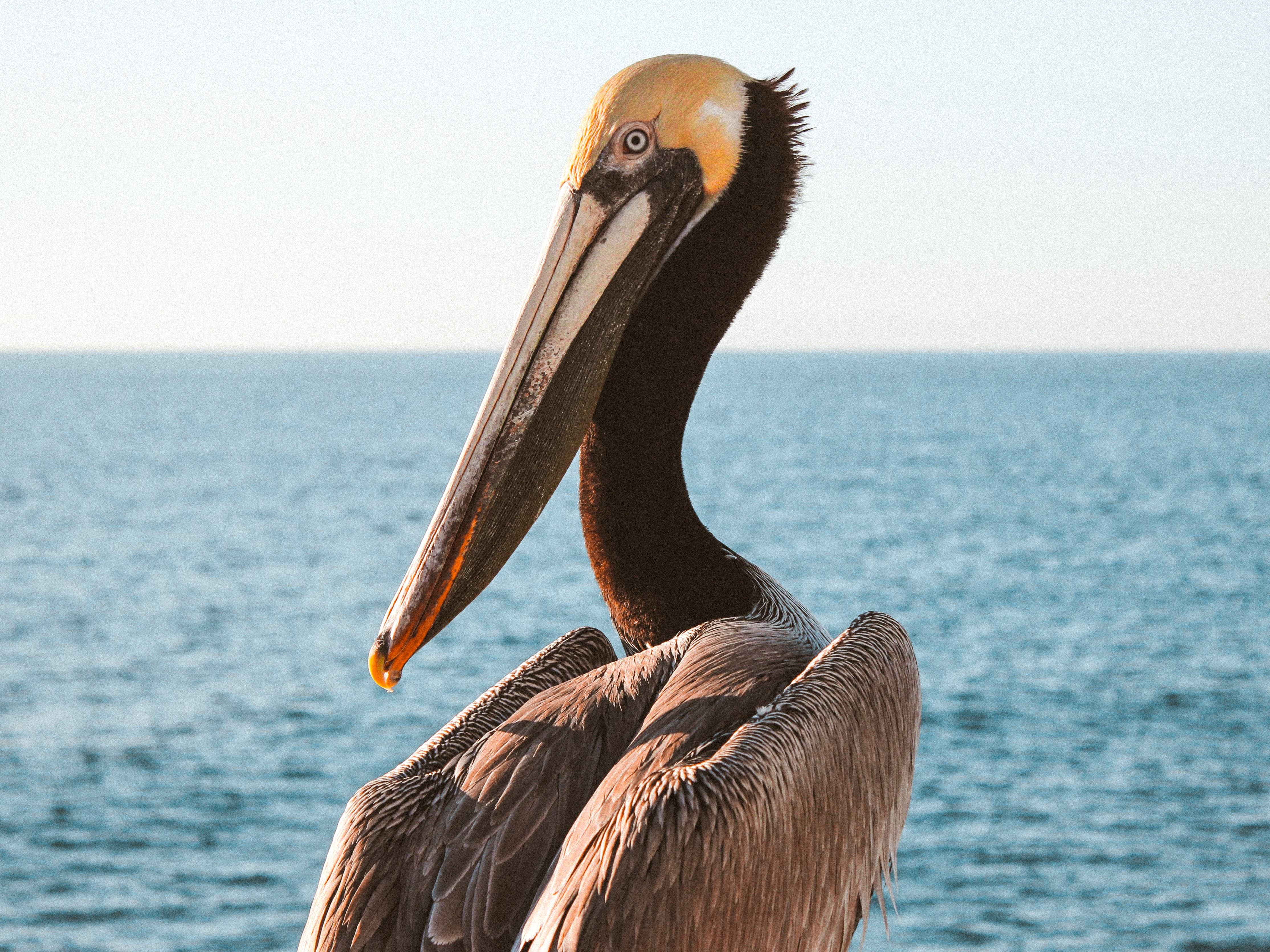 shallow focus photo of pelican