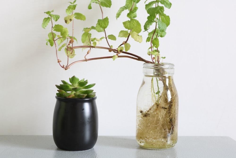 succulent plant on black pot