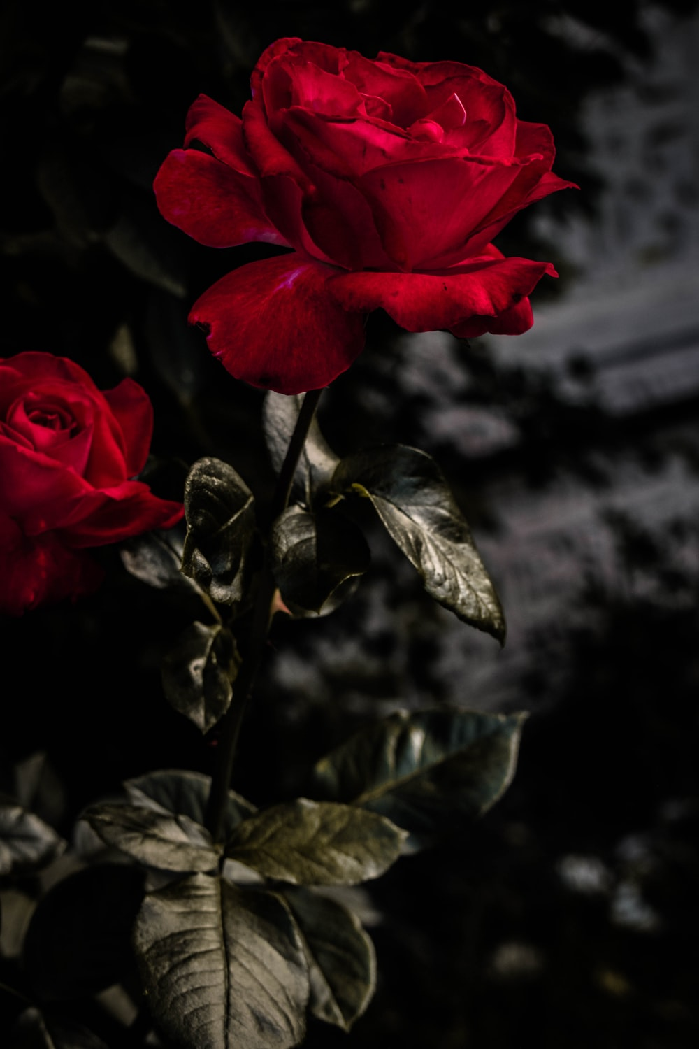 red rose close-up photography