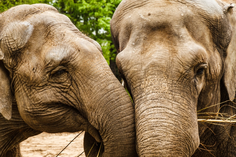 two brown elephants in front of green leafed tree