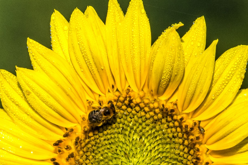 black and brown bee perching on yellow petaled flower