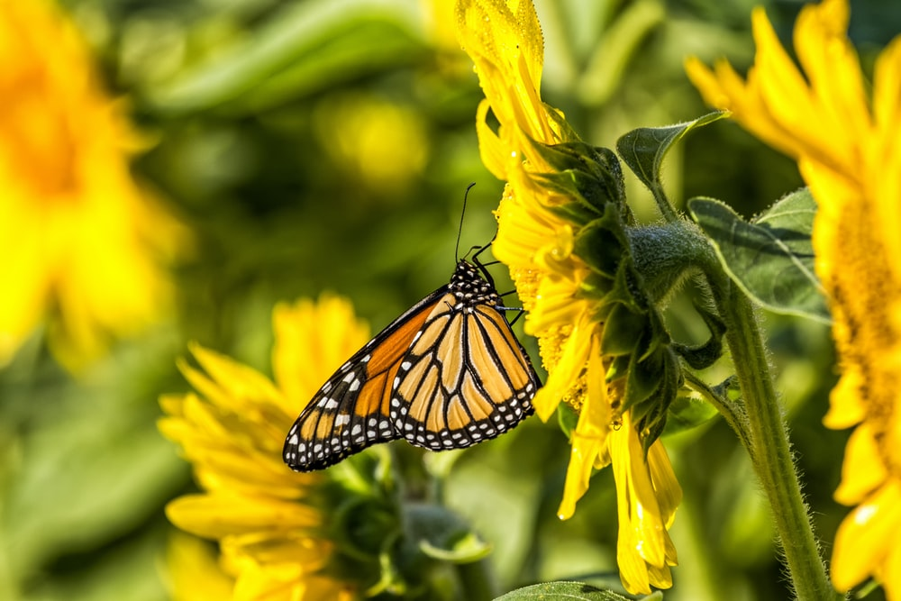 yellow butterfly on top of sunflower