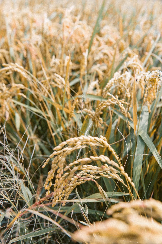 grains plant during daytime