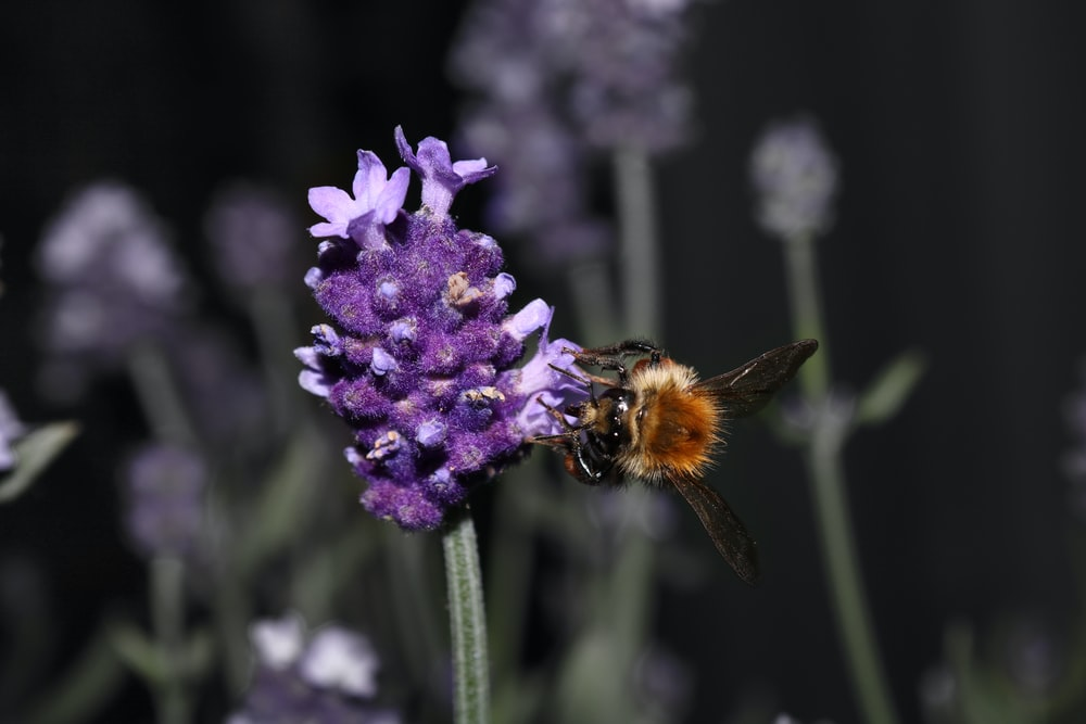 bee pollinating on purple flower