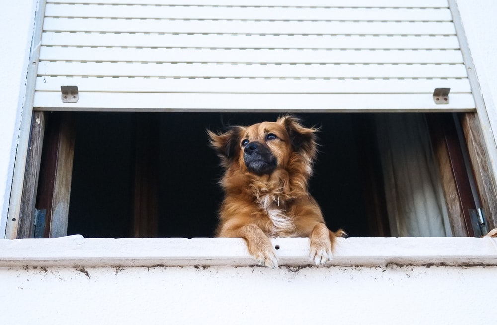 short-coated tan dog looking from roller shutter window