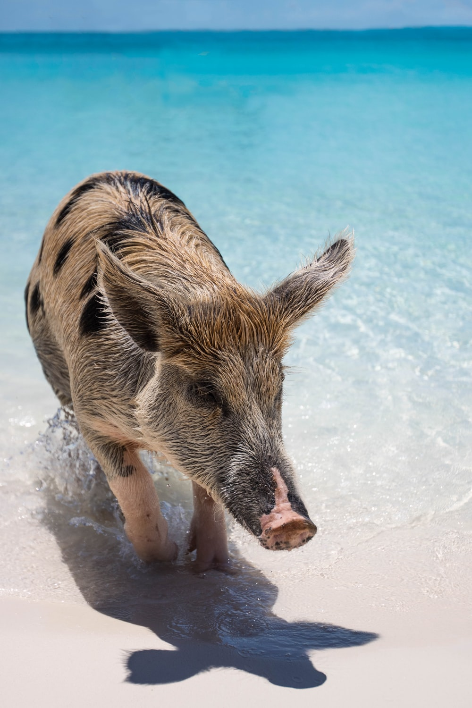 tan and black pig on seashore