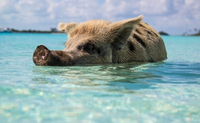 brown pig in body of water bahamas zoom background