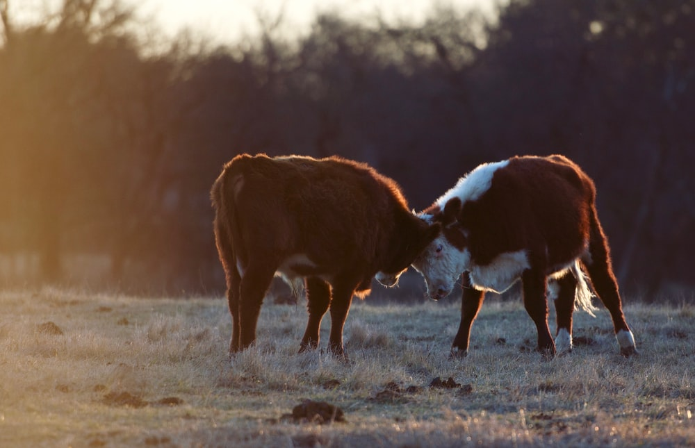 two cow on brown grass field