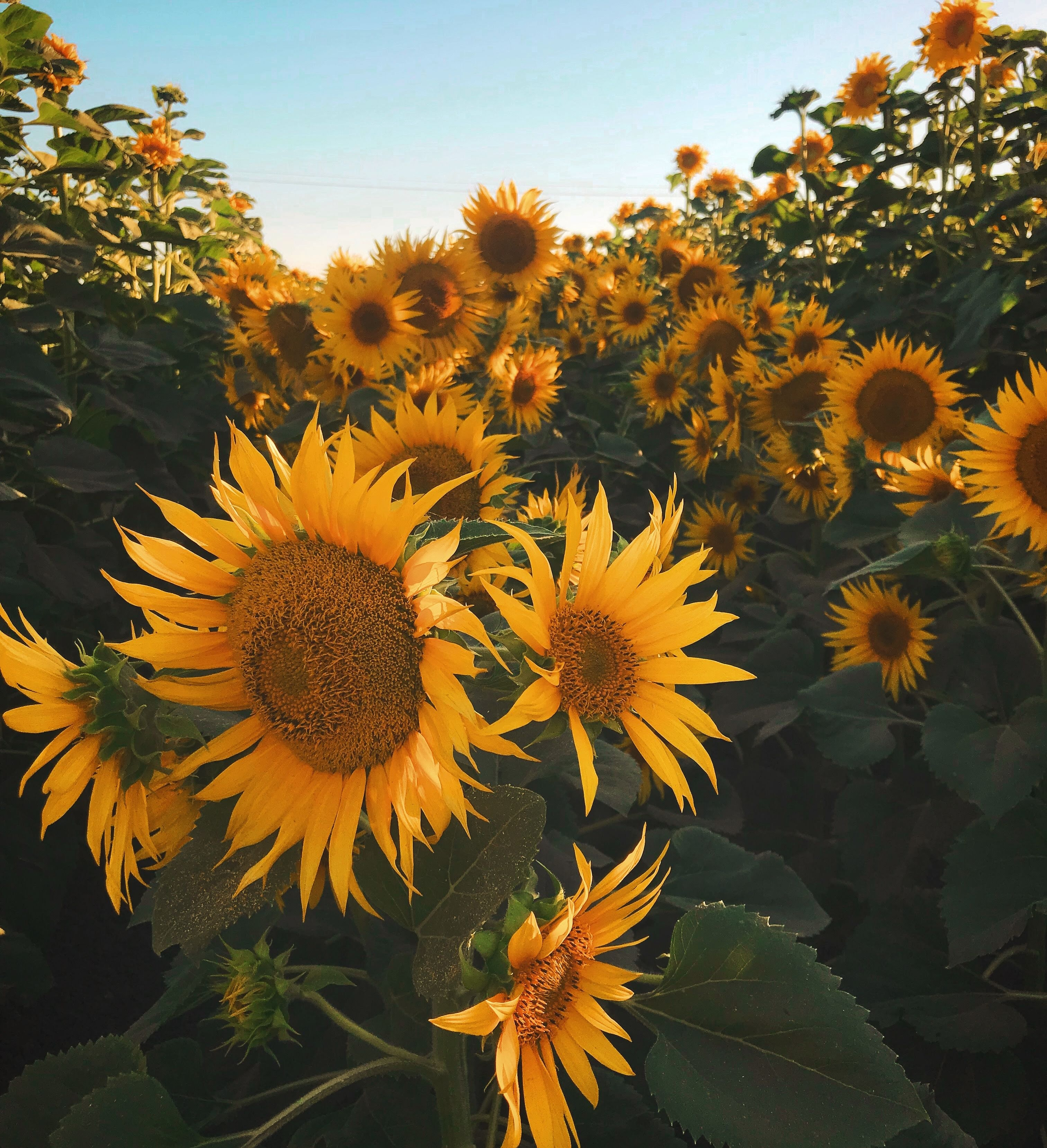 close-up photography of sunflowers