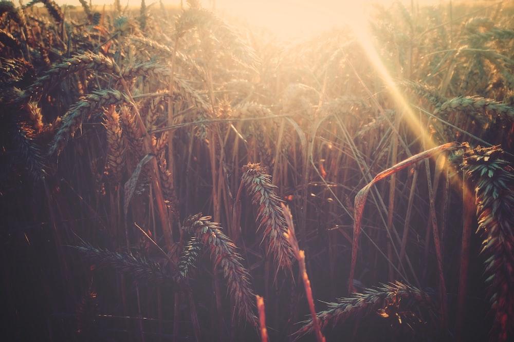 wheat photo during sunrise