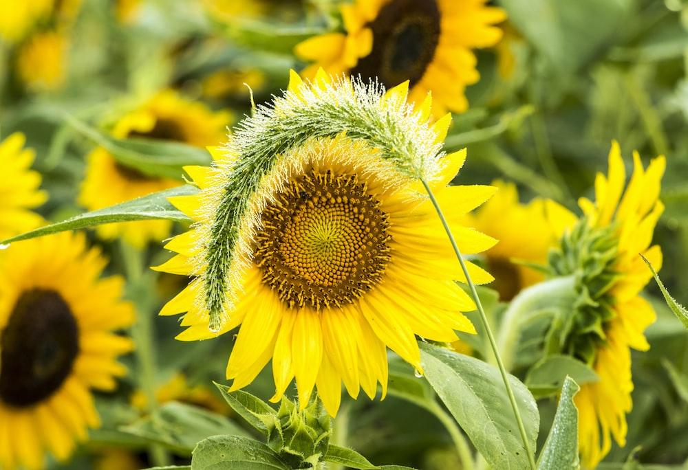 close sunflower field