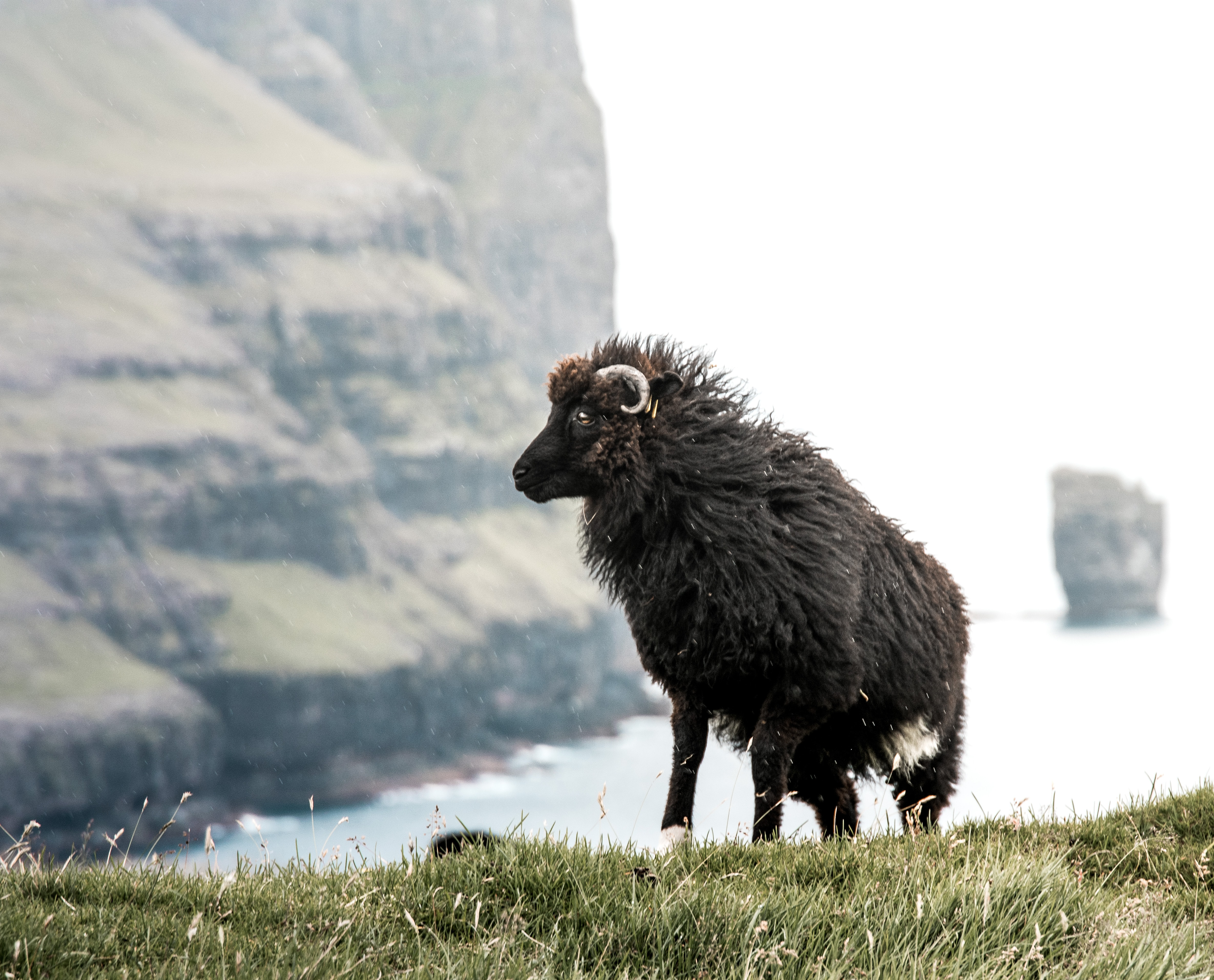 black mountain goat standing on grass field during daytime
