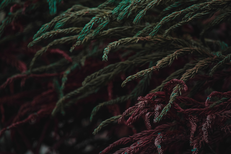 Norfolk pine tree