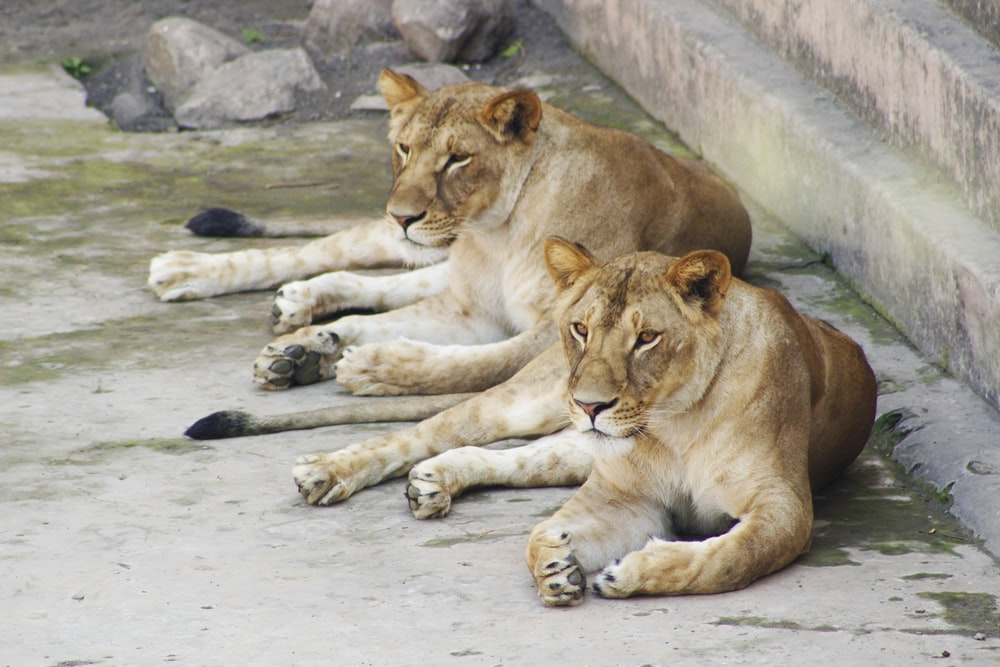 two lioness lying down