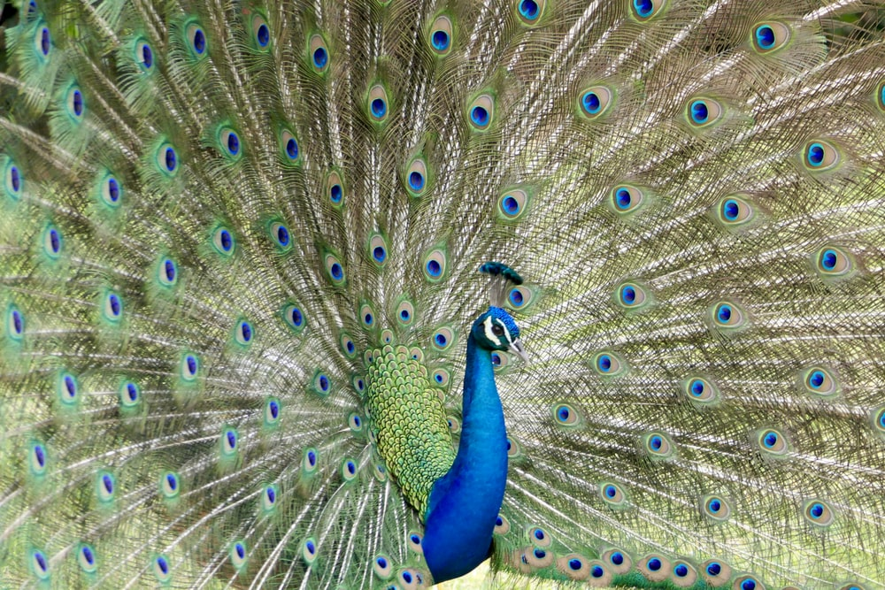 green and blue peacock
