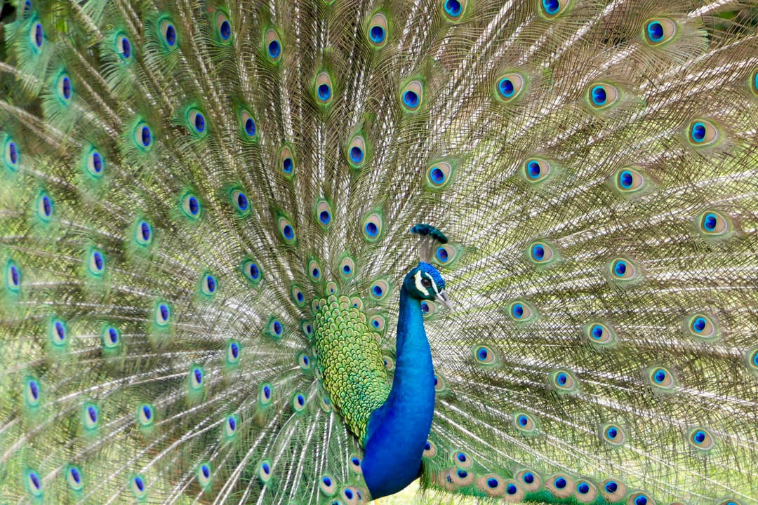 Peacock Art Photography Wallpaper Hq Backgrounds: Download Free Images On Unsplash