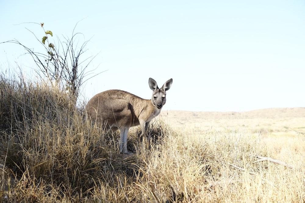 wildlife photography of kangaroo on grass field