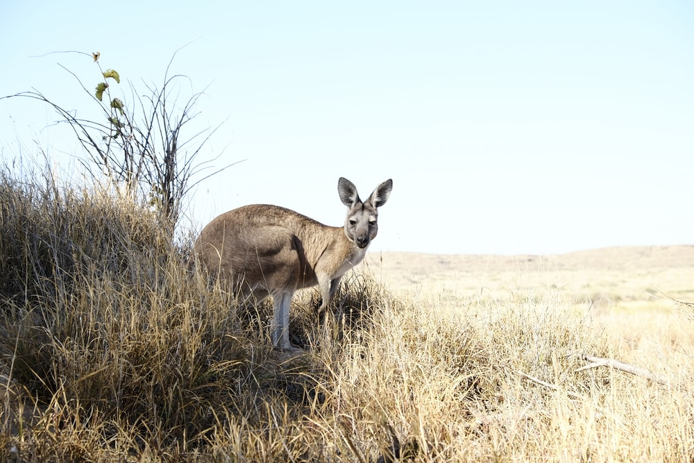 wildlife photography of kangaroo on grass field