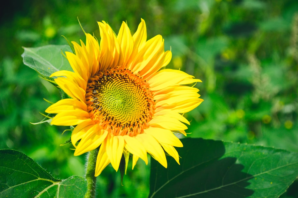 sunflower closeup photography