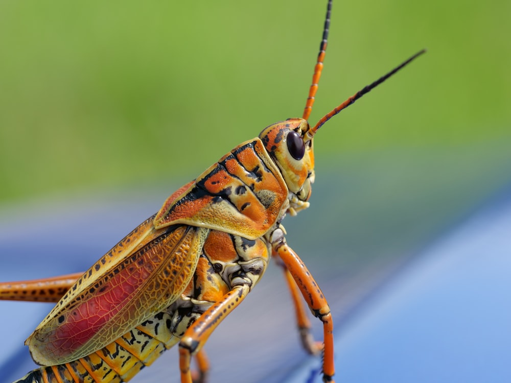 macro shot photography of brown grasshopper