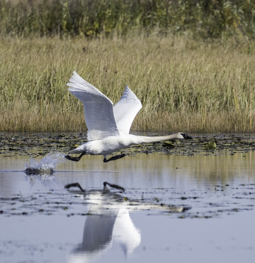 white goose flying near body of water
