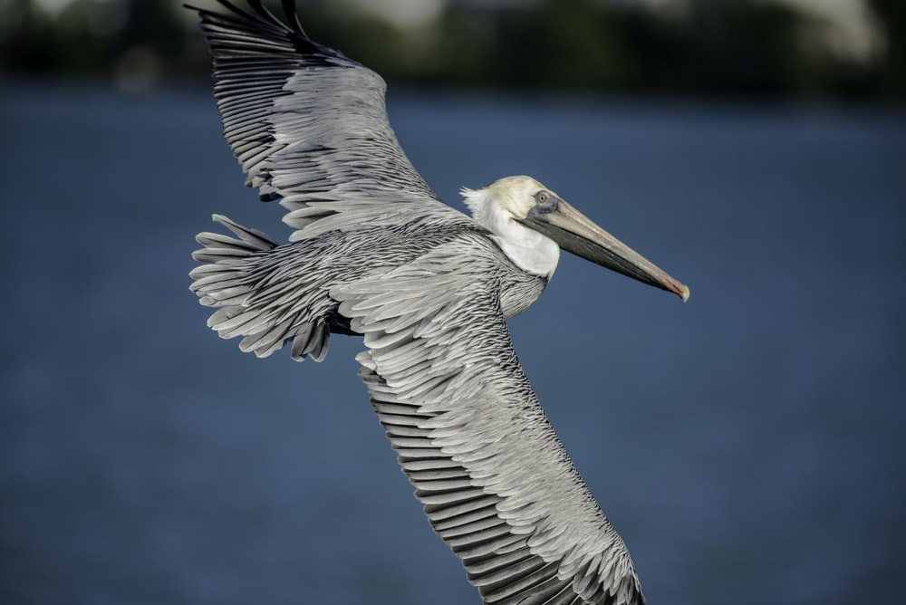 gray and white pelican flying in the sky during daytime