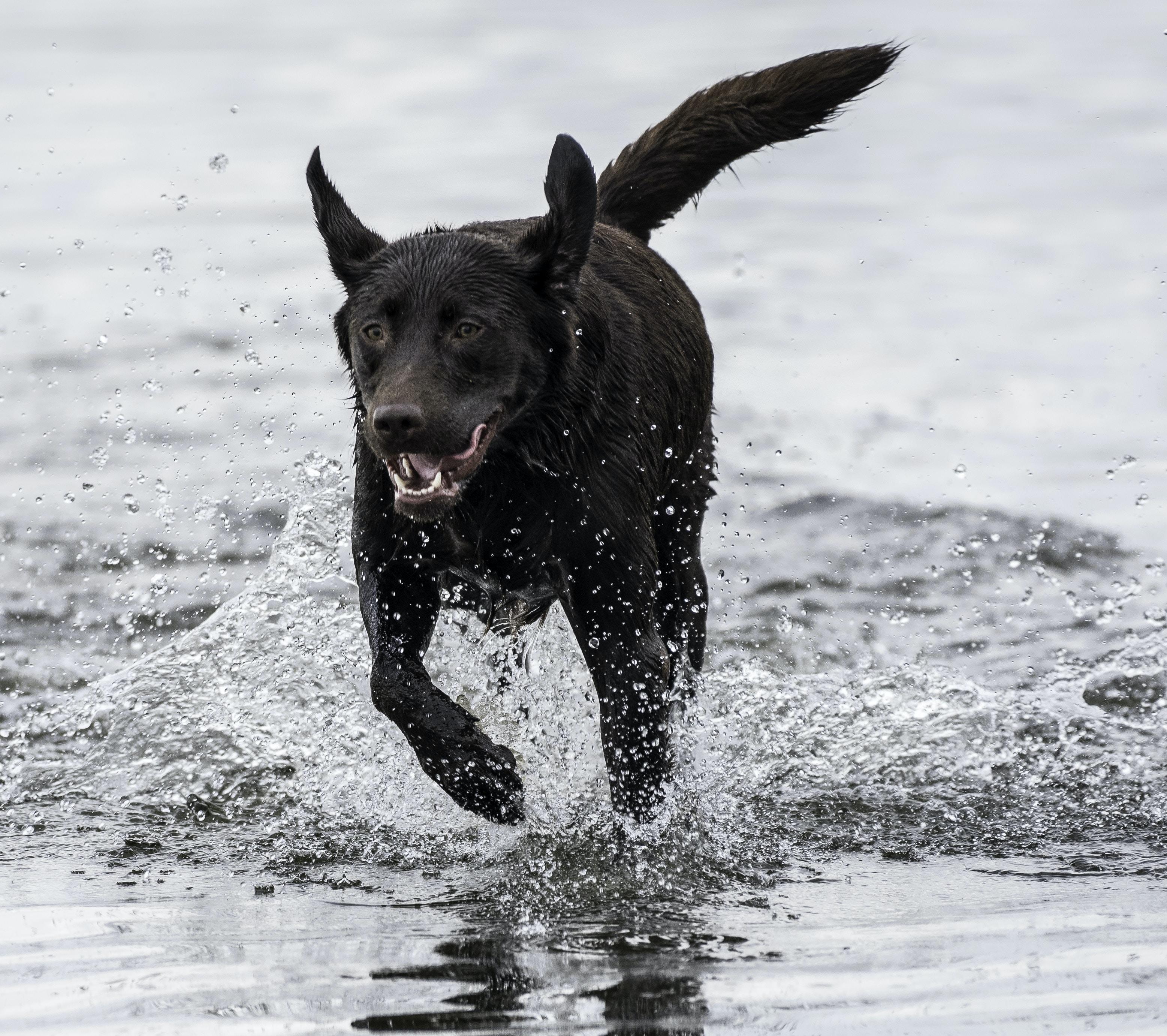 short-coated black dog running on body of water
