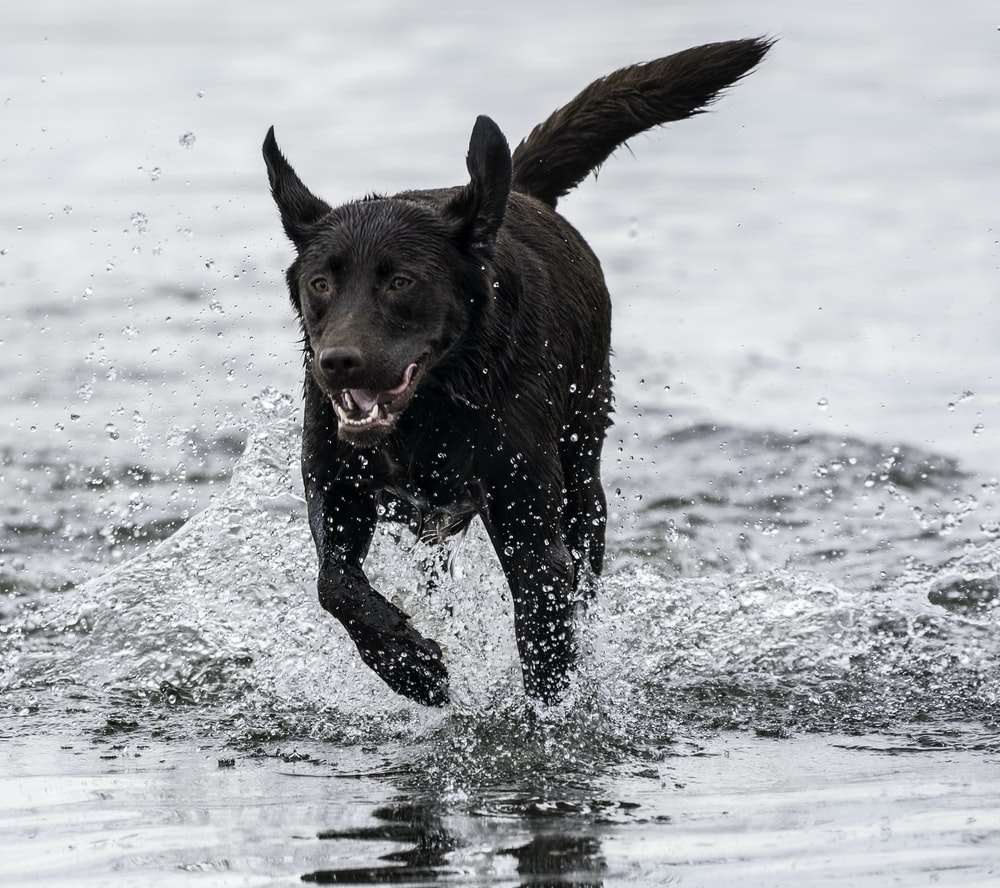 short-coated black dog running on body of water
