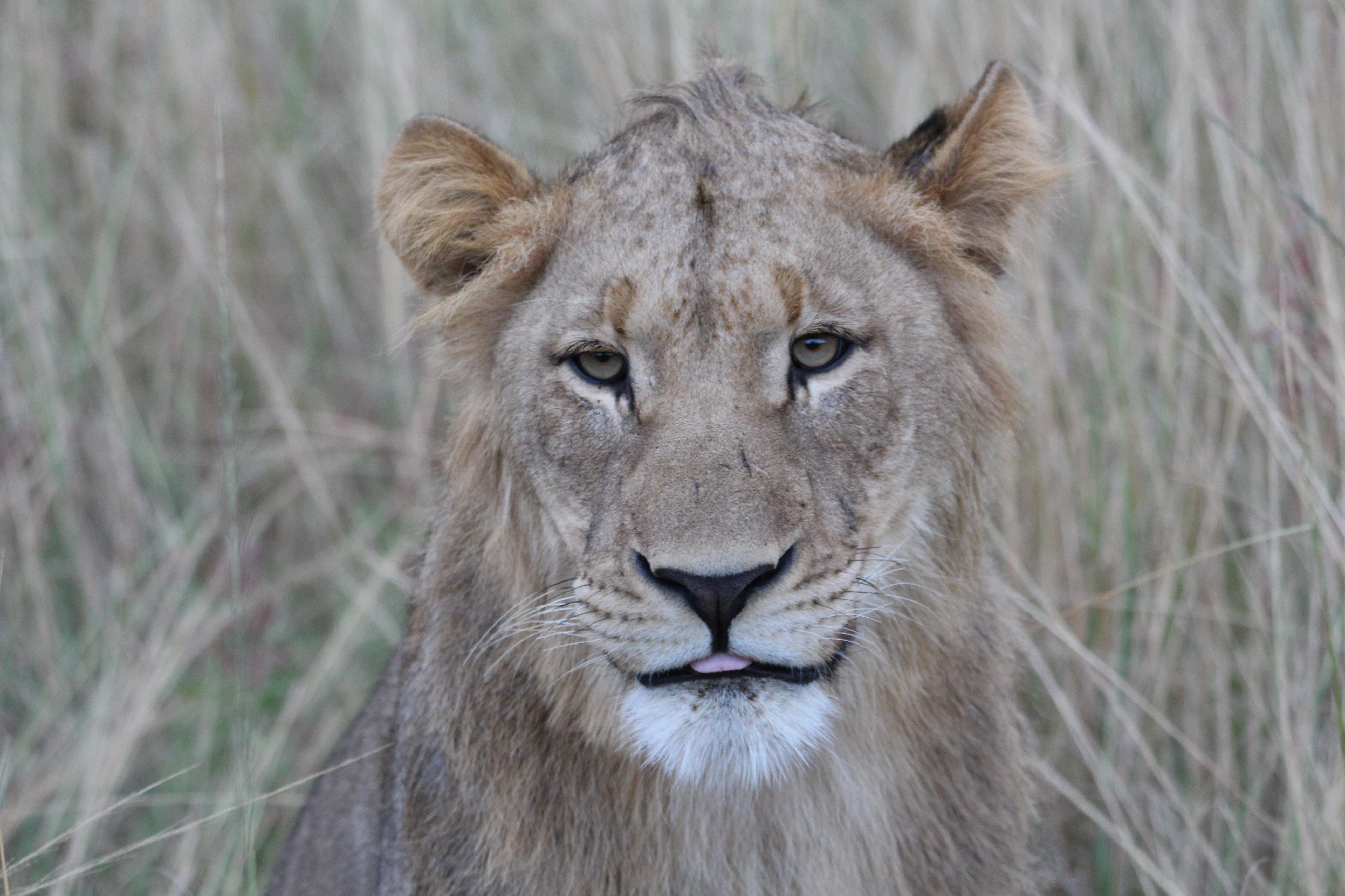 lionesse