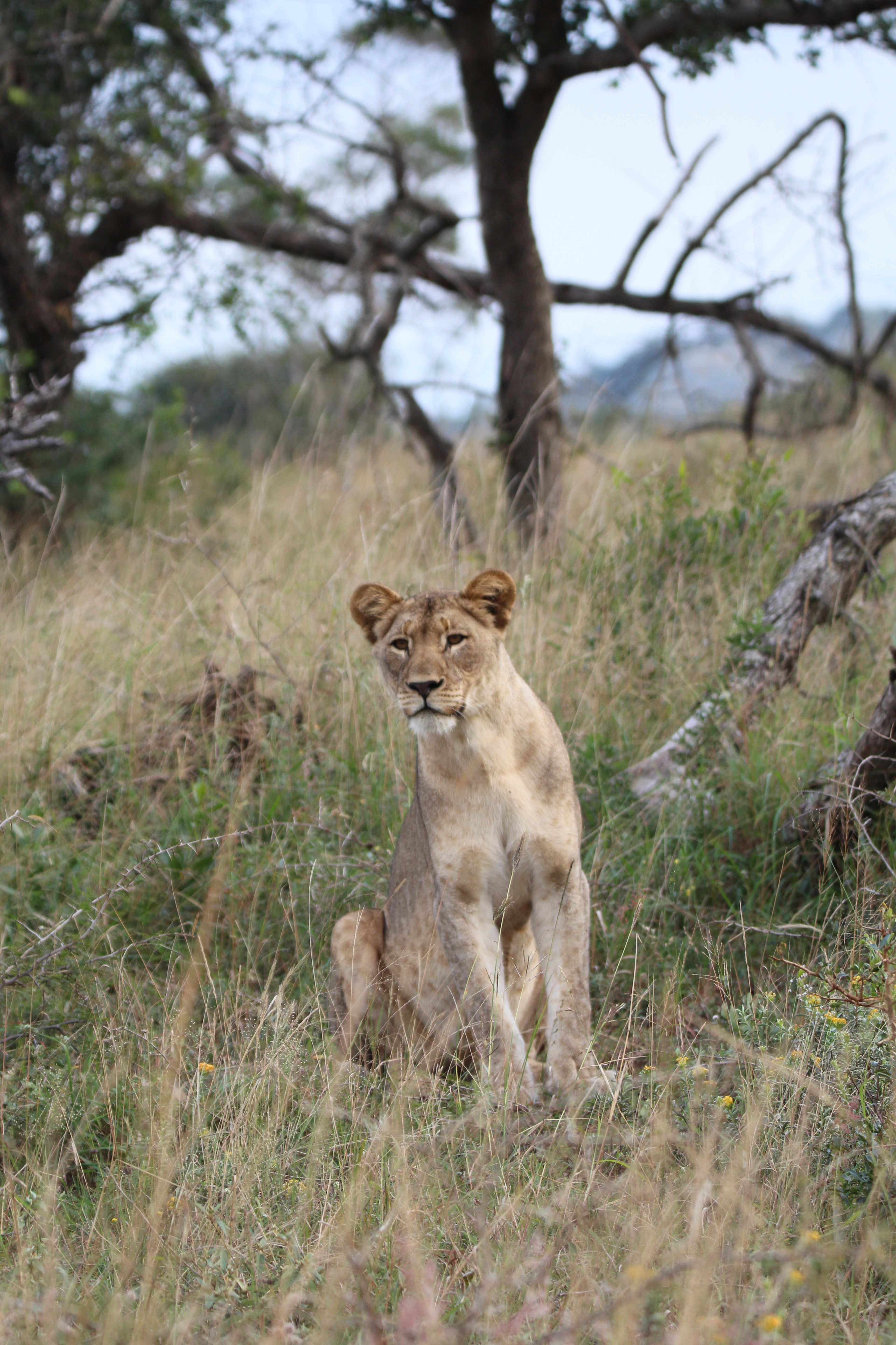 lioness sitting on grass near trees at daytime