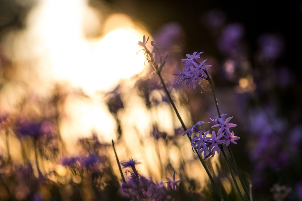 selective focus photography of blooming purple petaled flowers