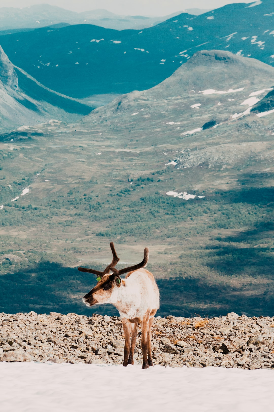 Tame reindeer that you might come across while hiking Besseggen. They prefer to cool themselves on the snow fields scattered across the mountainsides.