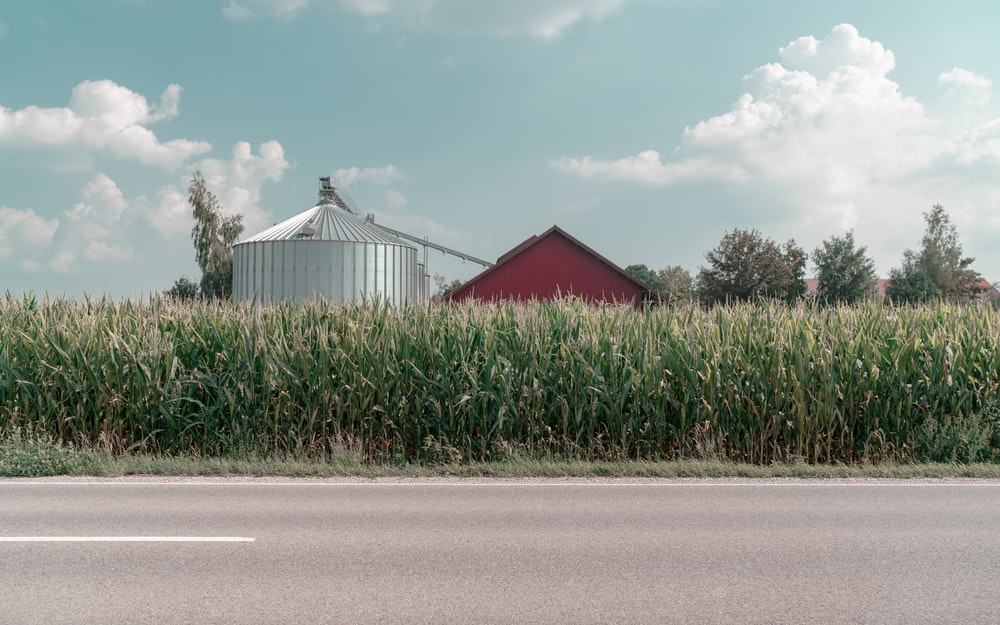 farm with cornfield near road during daytime